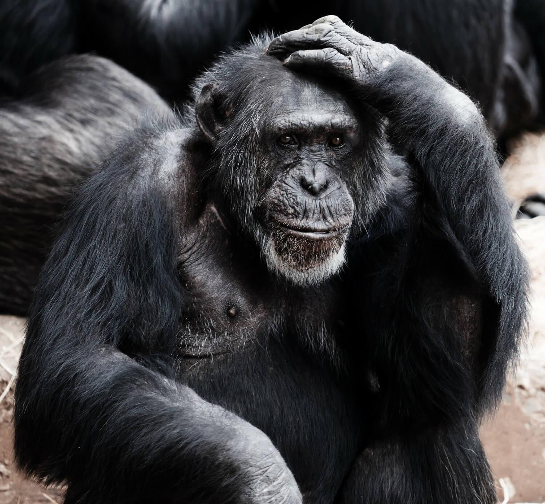 Ape scratching its head