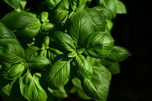 Bushy basil plant, with lots of leaves