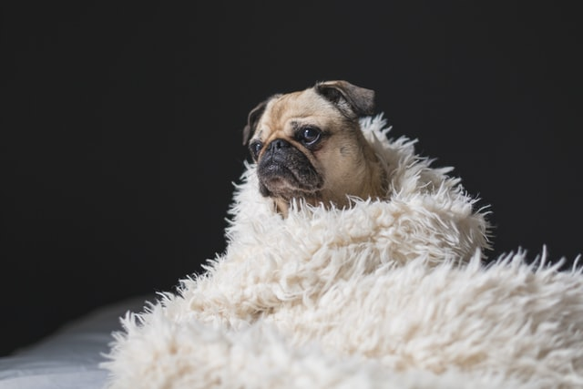 Pug wrapped up in fuzzy blanket