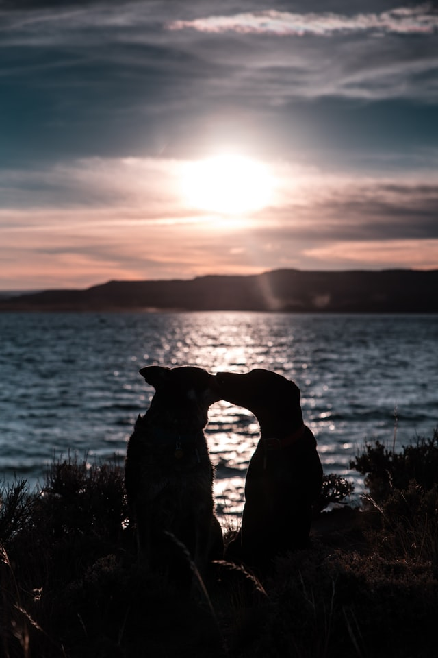 Two dogs kissing in front of a lake at sunset