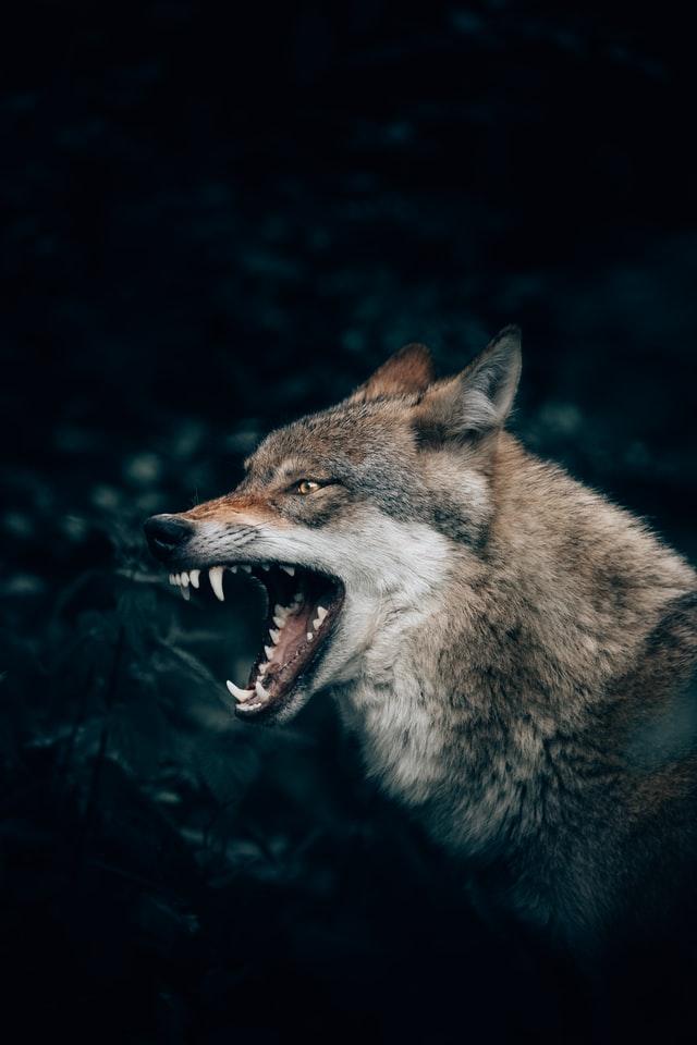 Wolf growling