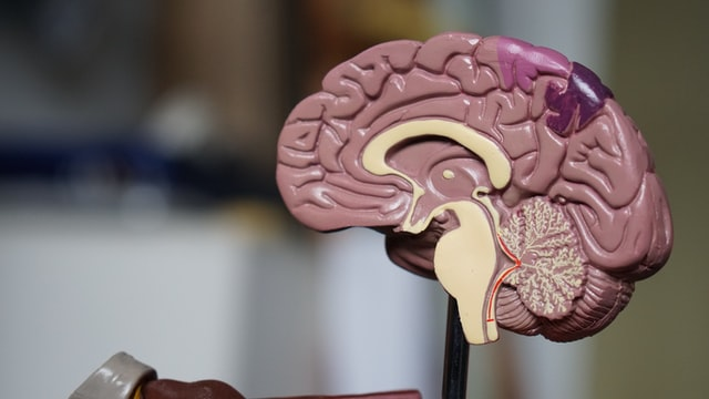 Medical model of the inside of the brain